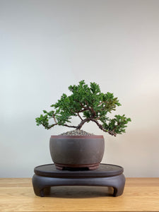 JAPANESE JUNIPER (JP03037) - MiniGardens NZ