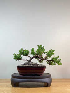 JAPANESE JUNIPER (JP03041) - MiniGardens NZ