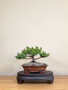 JAPANESE JUNIPER (JP04001) - MiniGardens NZ