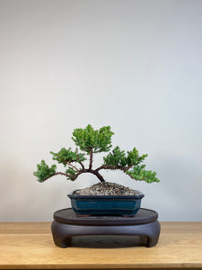 JAPANESE JUNIPER (JP04006) - MiniGardens NZ