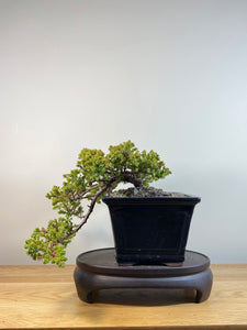 JAPANESE JUNIPER (JP04018) - MiniGardens NZ