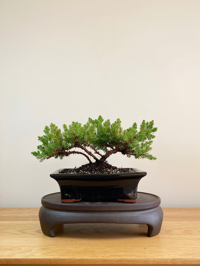 JAPANESE JUNIPER (JP05003) - MiniGardens NZ