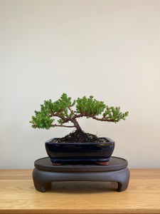 JAPANESE JUNIPER (JP05005) - MiniGardens NZ