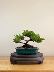 JAPANESE JUNIPER (JP05012) - MiniGardens NZ
