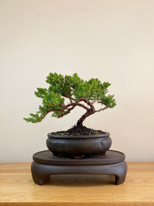JAPANESE JUNIPER (JP05013) - MiniGardens NZ