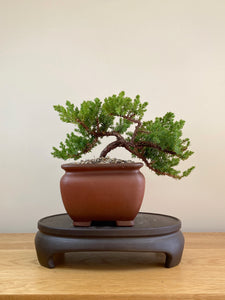 JAPANESE JUNIPER (JP05016) - MiniGardens NZ