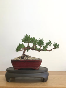 JAPANESE JUNIPER (JP07005) - MiniGardens NZ