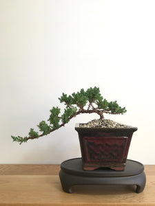 JAPANESE JUNIPER (JP07007) - MiniGardens NZ