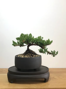JAPANESE JUNIPER (JP07027) - MiniGardens NZ