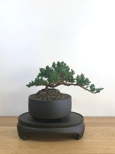 JAPANESE JUNIPER (JP08008) - MiniGardens NZ