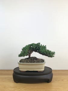 JAPANESE JUNIPER (JP08021) - MiniGardens NZ