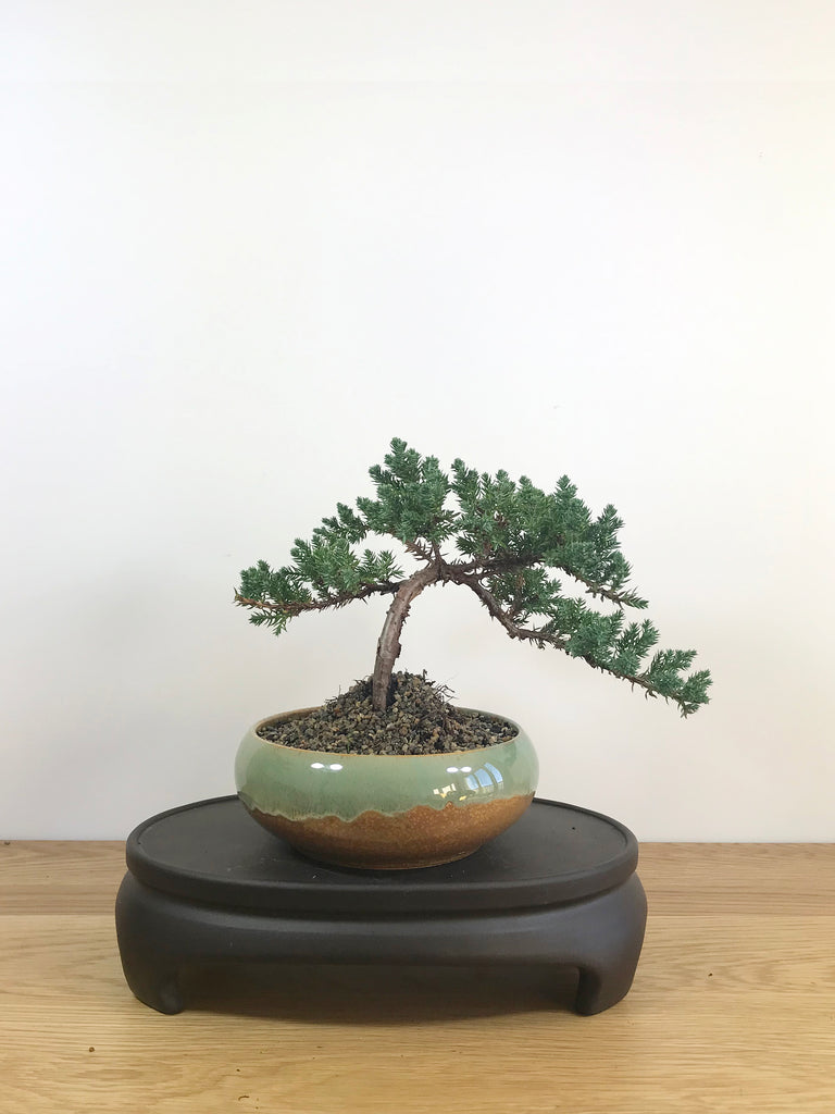 JAPANESE JUNIPER (JP08032) - MiniGardens NZ