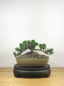 JAPANESE JUNIPER (JP09002) - MiniGardens NZ