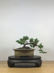 JAPANESE JUNIPER (JP09012) - MiniGardens NZ