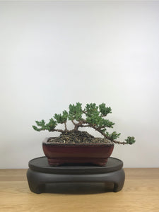 JAPANESE JUNIPER (JP09016) - MiniGardens NZ