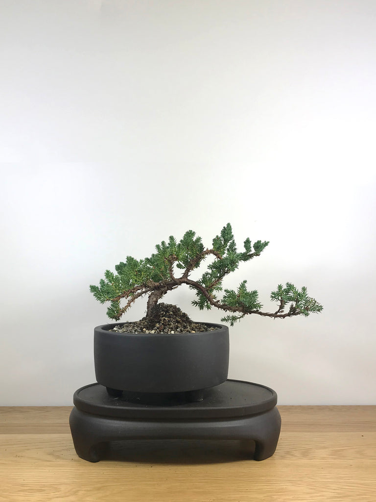 JAPANESE JUNIPER (JP09017) - MiniGardens NZ