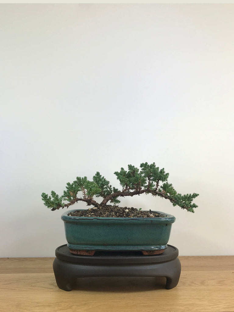 JAPANESE JUNIPER (JP09019) - MiniGardens NZ
