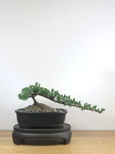 JAPANESE JUNIPER (JP09023) - MiniGardens NZ