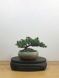 JAPANESE JUNIPER (JP10004) - MiniGardens NZ