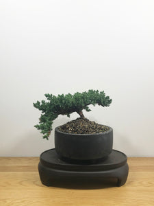 JAPANESE JUNIPER (JP10006) - MiniGardens NZ