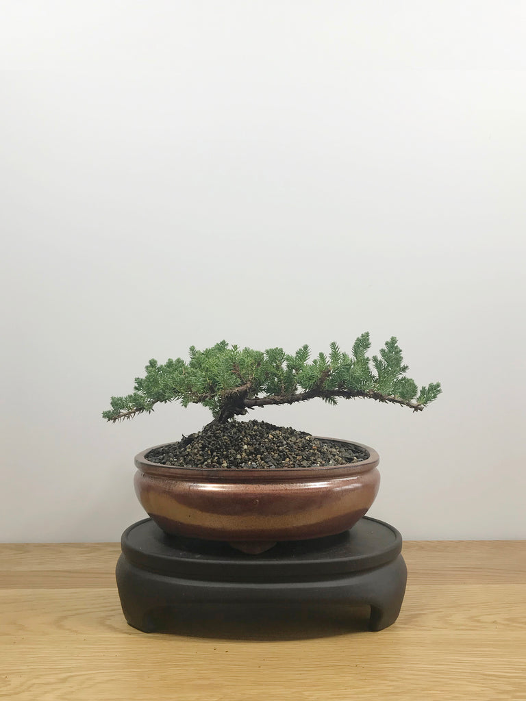 JAPANESE JUNIPER (JP10007) - MiniGardens NZ