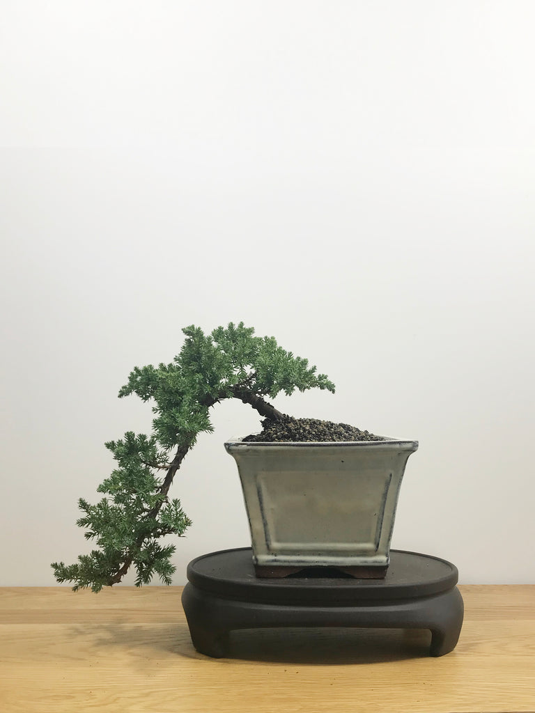 JAPANESE JUNIPER (JP10008) - MiniGardens NZ