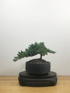 JAPANESE JUNIPER (JP10015) - MiniGardens NZ