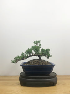 JAPANESE JUNIPER (JP10016) - MiniGardens NZ