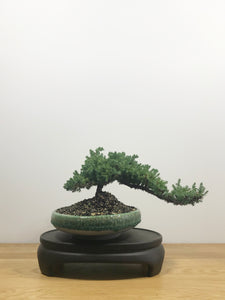 JAPANESE JUNIPER (JP10019) - MiniGardens NZ