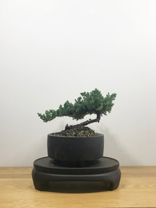 JAPANESE JUNIPER (JP10020) - MiniGardens NZ