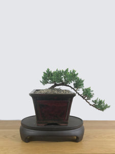 JAPANESE JUNIPER (JP10022) - MiniGardens NZ