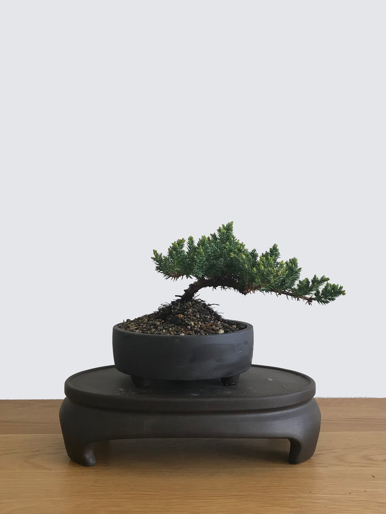 JAPANESE JUNIPER (JP10027) - MiniGardens NZ