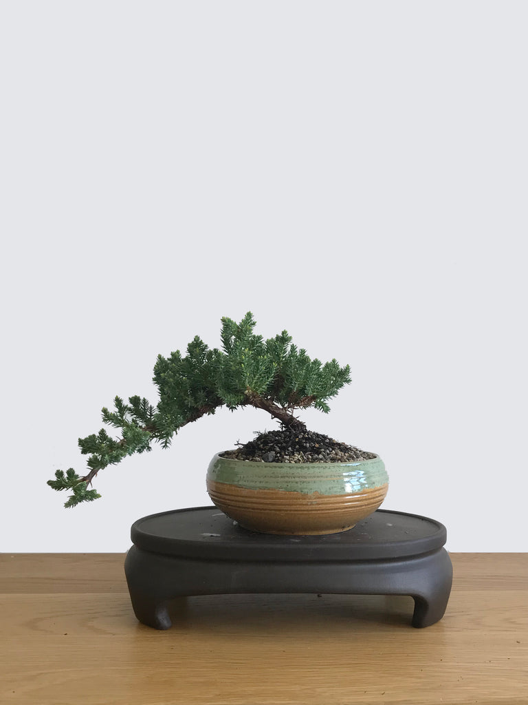 JAPANESE JUNIPER (JP10041) - MiniGardens NZ