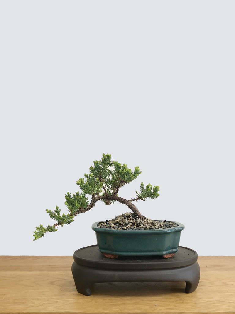 JAPANESE JUNIPER (JP11011) - MiniGardens NZ