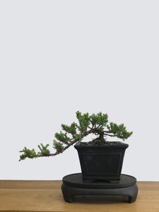 JAPANESE JUNIPER (JP11013) - MiniGardens NZ