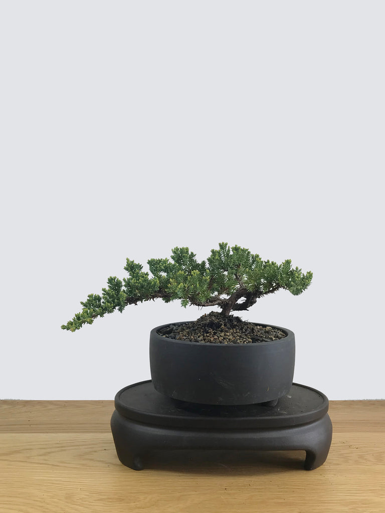 JAPANESE JUNIPER (JP11017) - MiniGardens NZ