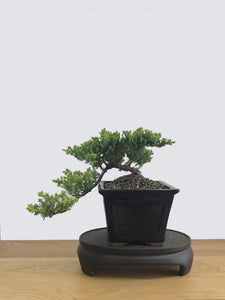 JAPANESE JUNIPER (JP11031) - MiniGardens NZ