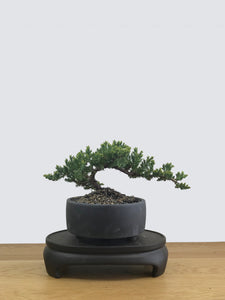JAPANESE JUNIPER (JP11032) - MiniGardens NZ