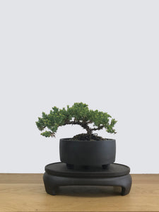 JAPANESE JUNIPER (JP11033) - MiniGardens NZ