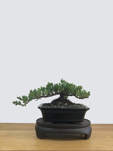 JAPANESE JUNIPER (JP11034) - MiniGardens NZ