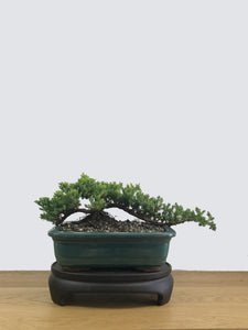 JAPANESE JUNIPER (JP11035) - MiniGardens NZ