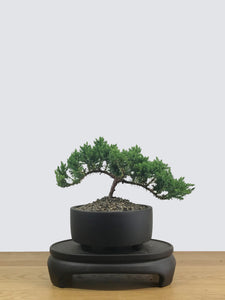 JAPANESE JUNIPER (JP12002) - MiniGardens NZ