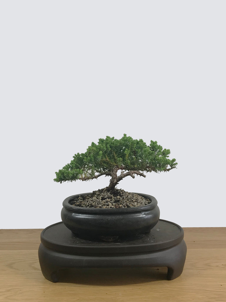 JAPANESE JUNIPER (JP12007) - MiniGardens NZ