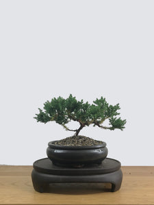 JAPANESE JUNIPER (JP12010) - MiniGardens NZ