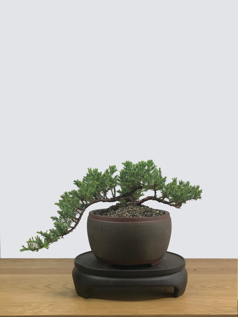 JAPANESE JUNIPER (JP12014) - MiniGardens NZ