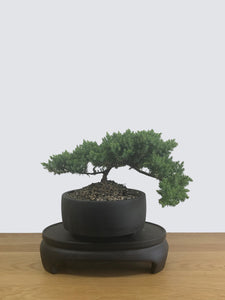 JAPANESE JUNIPER (JP12020) - MiniGardens NZ