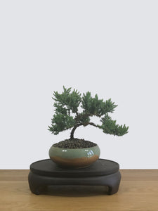 JAPANESE JUNIPER (JP12023) - MiniGardens NZ