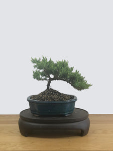 JAPANESE JUNIPER (JP12043) - MiniGardens NZ