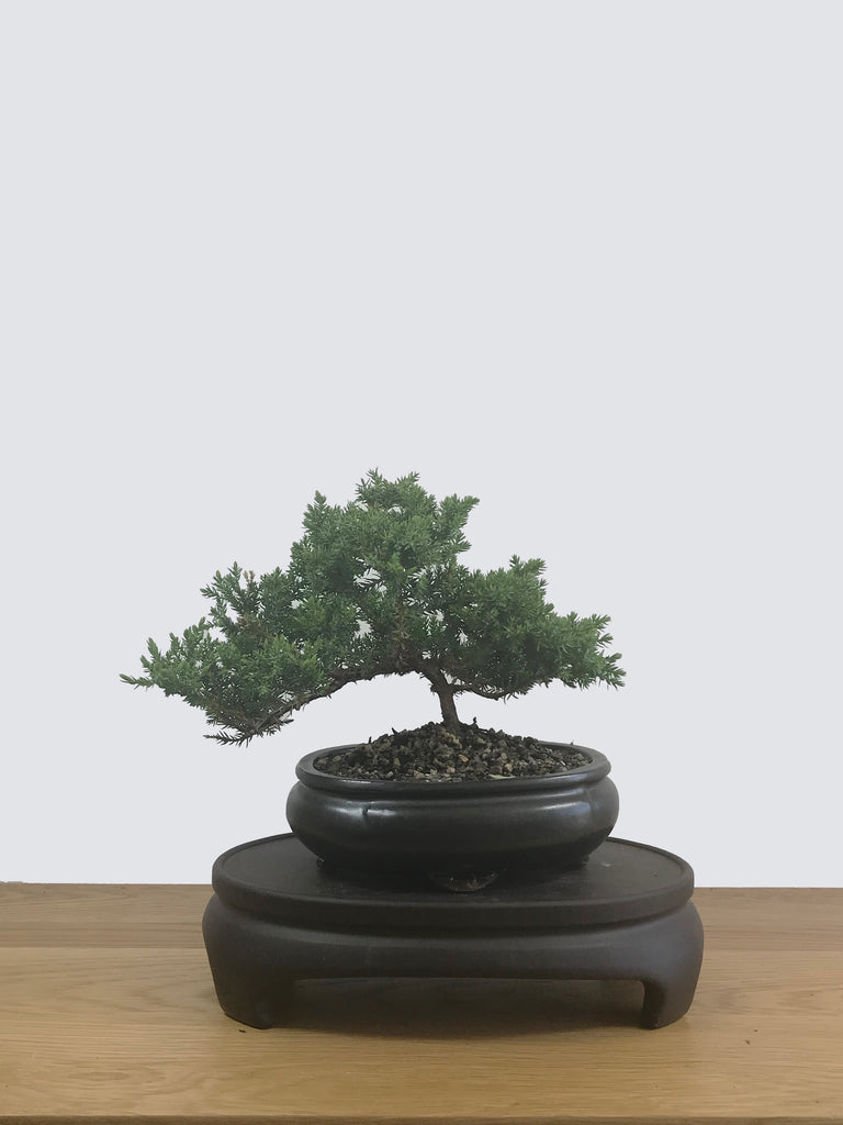 JAPANESE JUNIPER (JP12046) - MiniGardens NZ