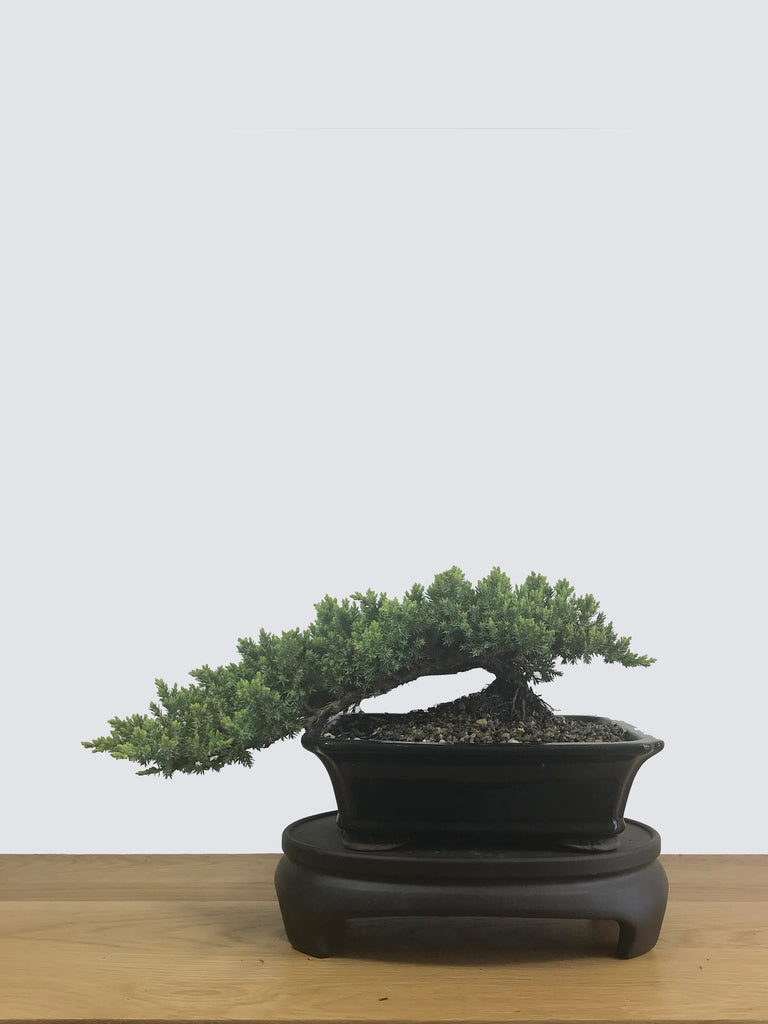 JAPANESE JUNIPER (JP12050) - MiniGardens NZ